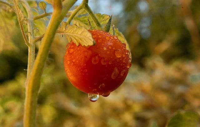 Wasserverbrauch einer Tomate, um die Wichtigkeit von saisonal und regional zu verdeutlichen